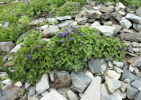 Delphinium puniceum Pall.