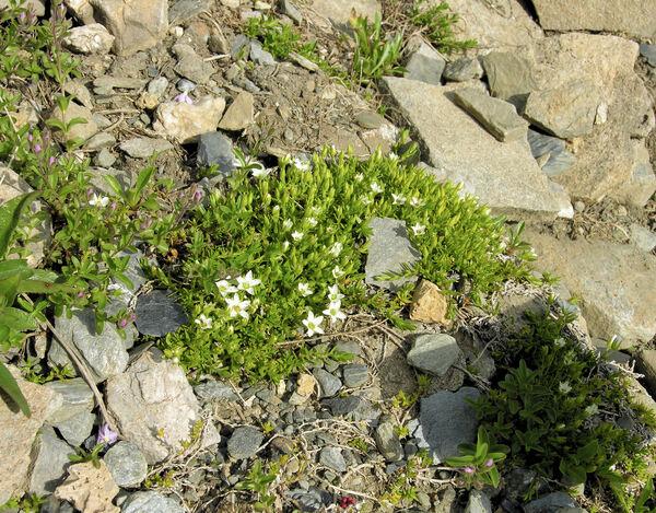 Facchinia rupestris (Scop.) Dillenb. & Kadereit