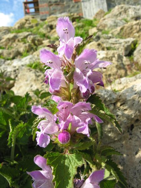Lamium garganicum L. subsp. longiflorum (Ten.) Kerguélen