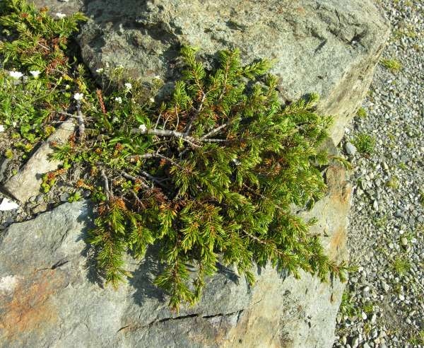 Juniperus communis L. subsp. nana Syme in Sowerby