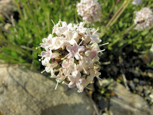 Valeriana saliunca All.
