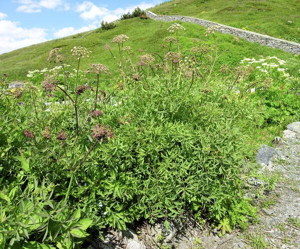 Siler montanum Crantz subsp. montanum