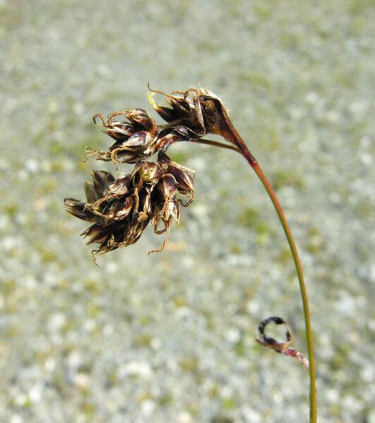 Luzula nutans (Vill.) Duval-Jouve