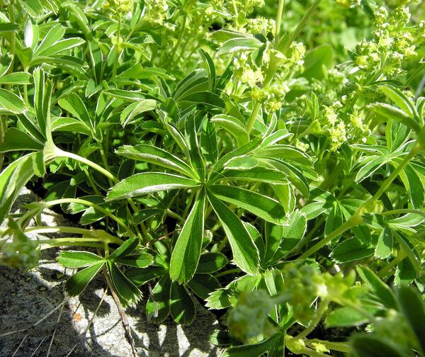 Alchemilla chirophylla Buser