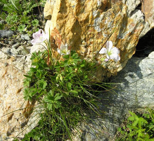 Geranium austroapenninum Aedo