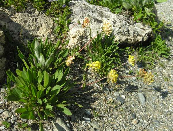 Anthyllis vulneraria L. subsp. alpicola (Brügger) Gutermann