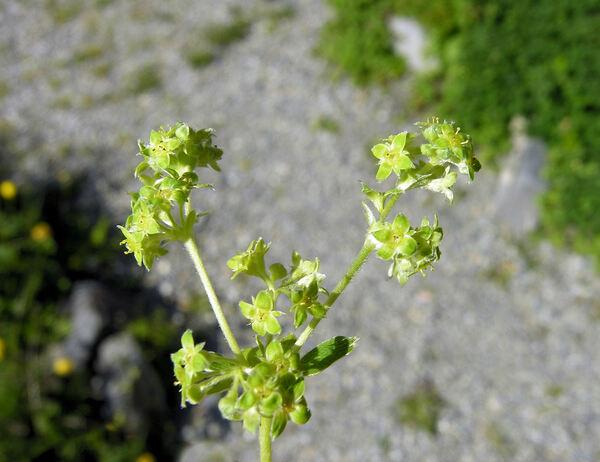 Alchemilla subsericea Reut.