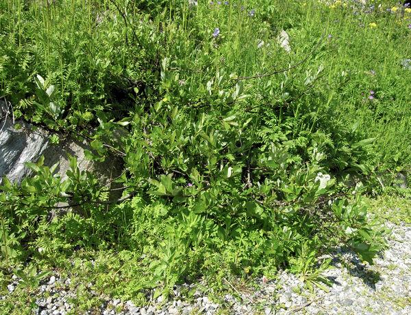 Salix apennina A.K.Skvortsov