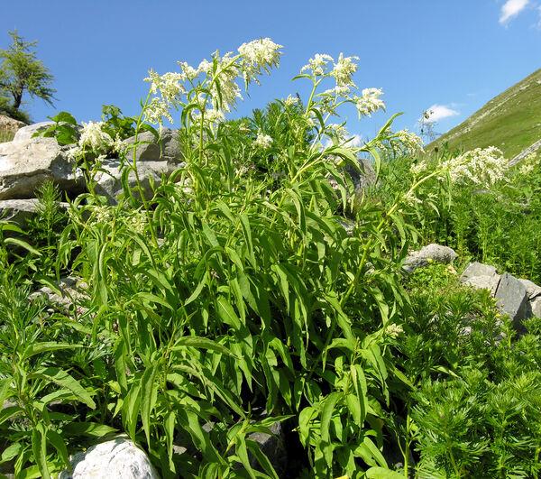 Koenigia alpina (All.) T.M.Schust. & Reveal