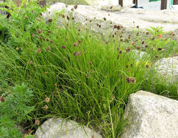 Carex foetida All.