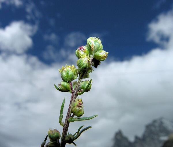 Artemisia campestris L. subsp. campestris