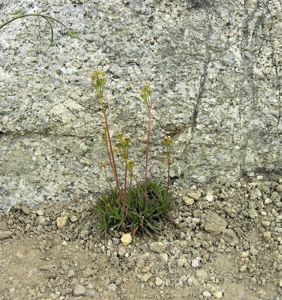 Androsace adfinis Biroli subsp. brigantiaca (Jord. & Fourr.) Kress