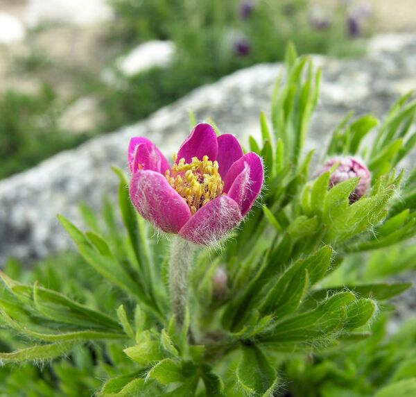 Anemone multifida Poir. 'Rubra'