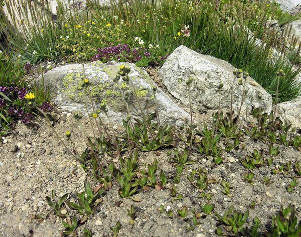 Pilosella alpicola (Schleich. ex Steud. & Hochst.) F.W.Schultz & Sch.Bip.