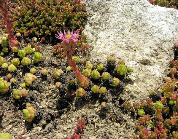 Sempervivum montanum L. subsp. montanum