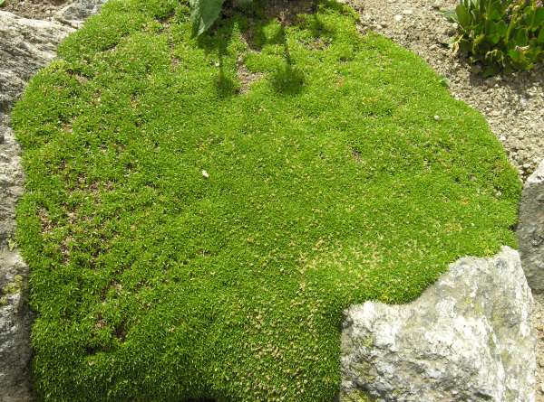 Silene acaulis (L.) Jacq. subsp. bryoides (Jord.) Nyman