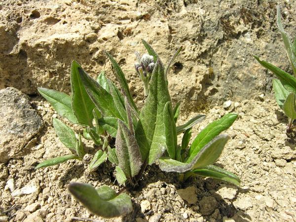 Saussurea alpina (L.) DC. subsp. alpina