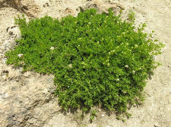 Iberis saxatilis L. subsp. saxatilis