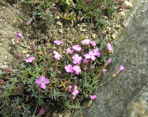 Dianthus subacaulis Vill. subsp. subacaulis