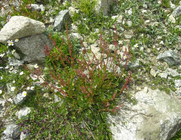 Oxyria digyna (L.) Hill