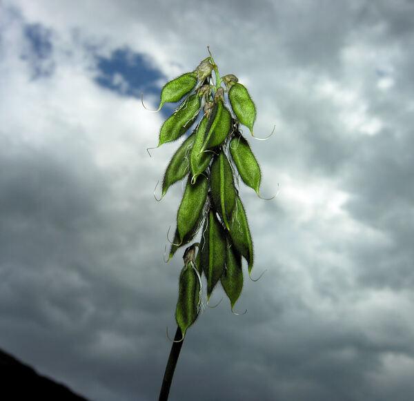 Astragalus alpinus L.