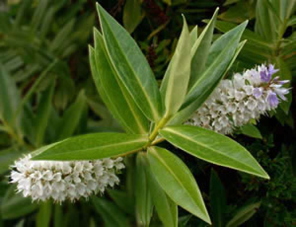 Hebe salicifolia (G. Forst.) Pennell