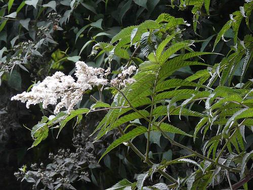 Sorbaria tomentosa (Lindl.) Rehder
