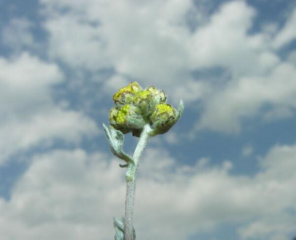 Artemisia glacialis L.