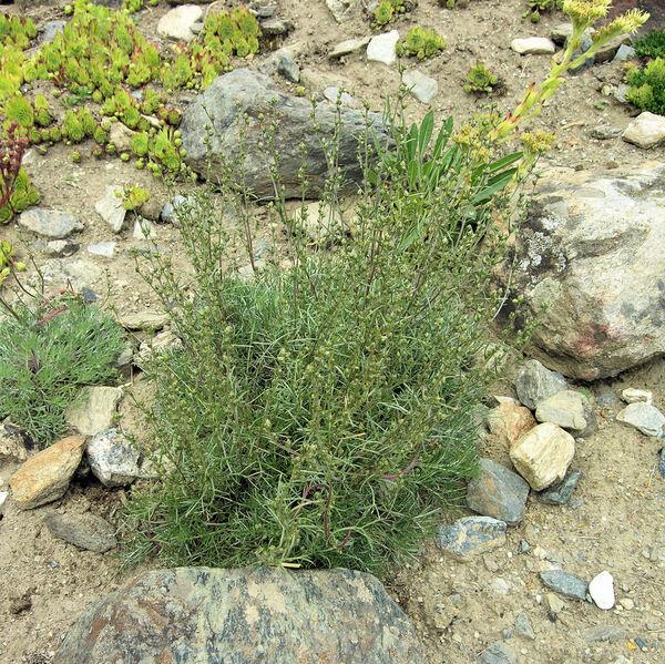 Artemisia campestris L. subsp. borealis (Pall.) H.M.Hall & Clem.
