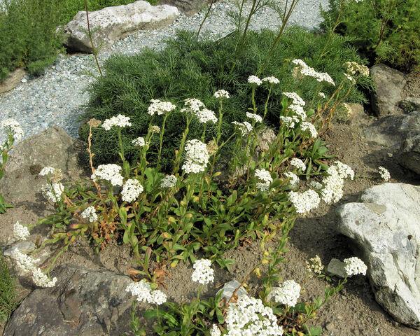 Achillea lingulata Waldst. & Kit.