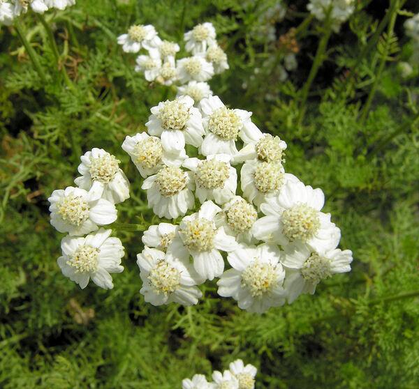 Achillea abrotanoides (Vis.) Vis.