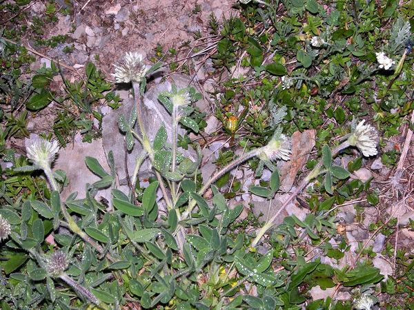 Trifolium noricum Wulfen subsp. noricum