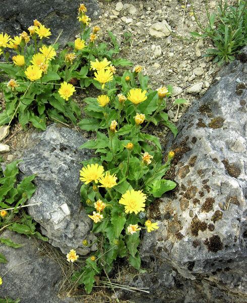 Hieracium humile Jacq.