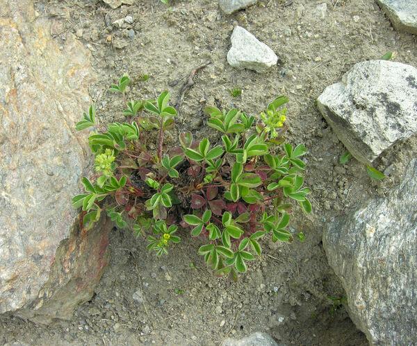 Sibbaldia maxima Kesselr. ex Murav.