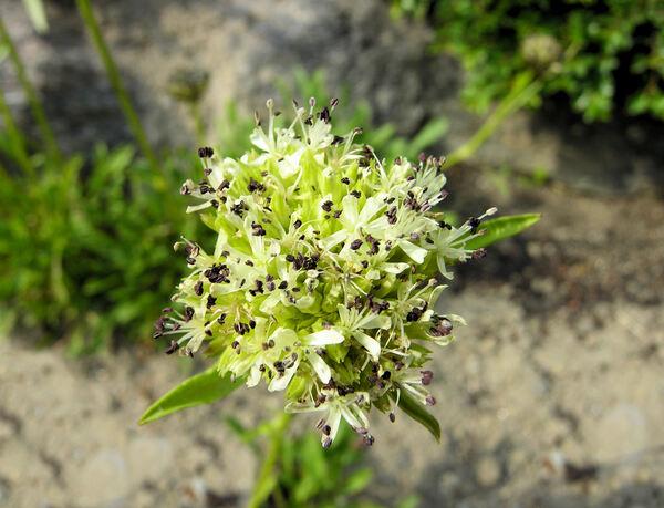 Saponaria bellidifolia Sm.