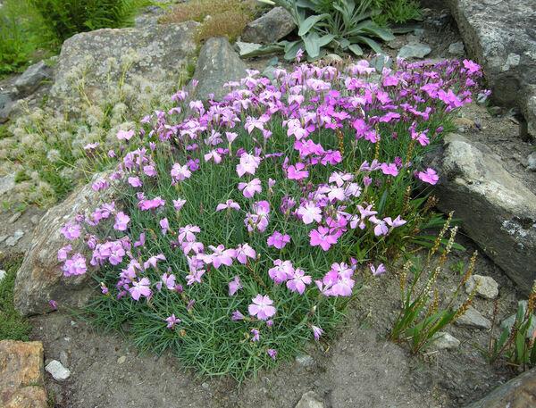 Dianthus gratianopolitanus Vill.
