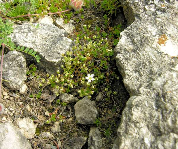Arenaria ciliata L. subsp. ciliata