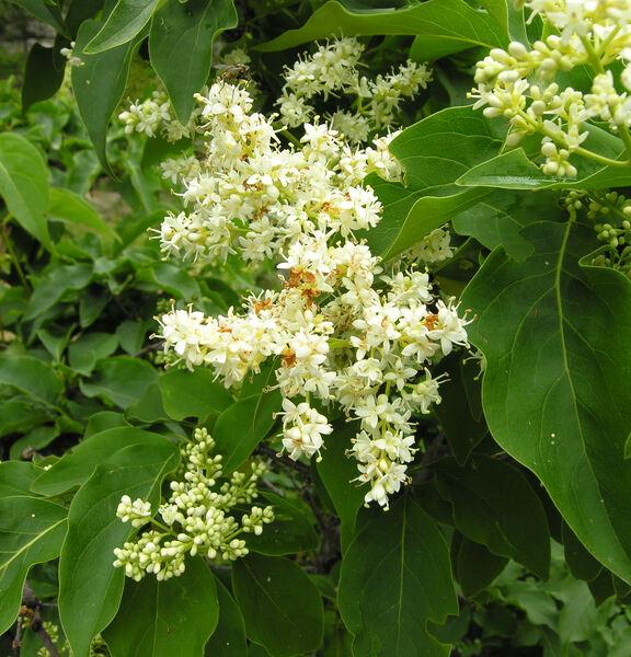 Syringa josikaea J.Jacq. ex Rchb.
