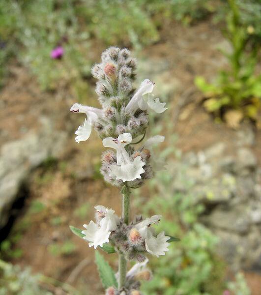 Nepeta nepetella L. subsp. nepetella