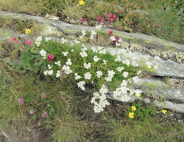 Achillea erba-rotta All. subsp. erba-rotta