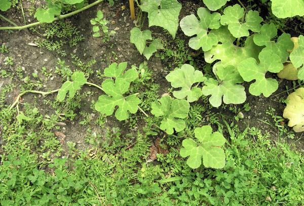 Cucurbita ficifolia Bouché