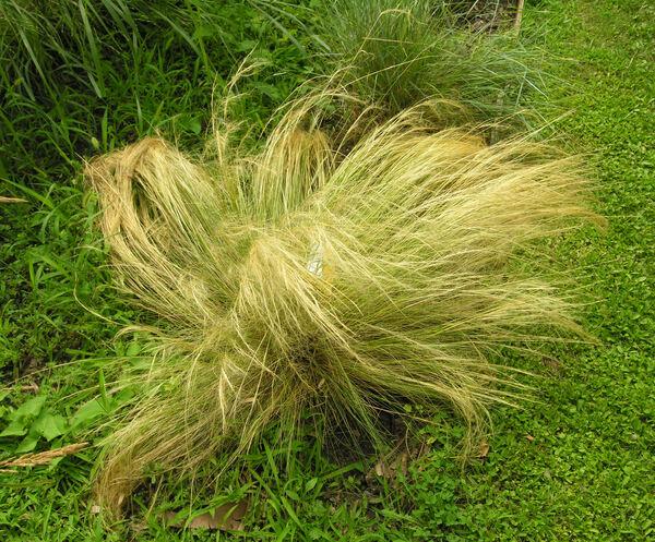 Nassella tenuissima (Trin.) Barkworth