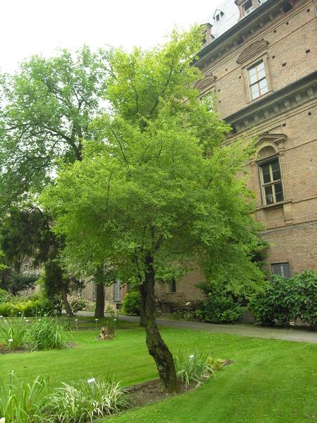Prunus cocomilia Ten.