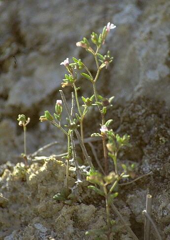 Chaenorhinum rubrifolium (Robill. & Castagne ex DC.) Fourr. subsp. rubrifolium