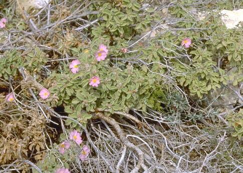 Cistus parviflorus Lam.