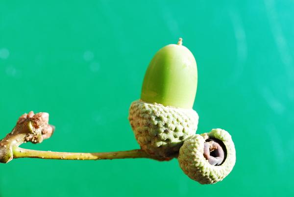 Quercus robur L. subsp. brutia (Ten.) O.Schwarz