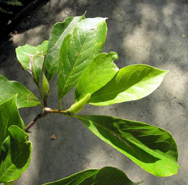Magnolia x soulangeana Soul.-Bod.