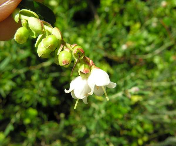 Vaccinium vitis-idaea L.
