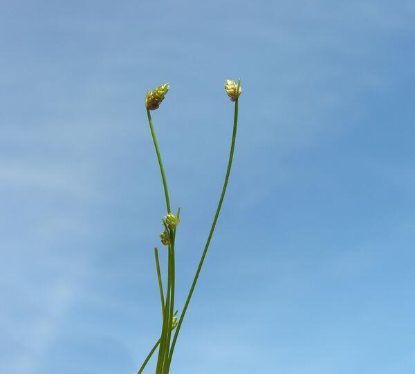 Isolepis cernua (Vahl) Roem. & Schult.