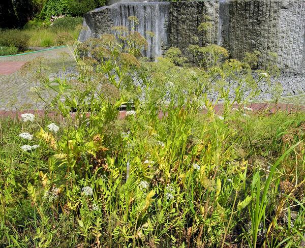 Sium latifolium L.